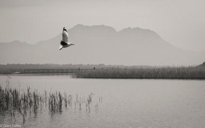 Gulls, Kleinmond # 2