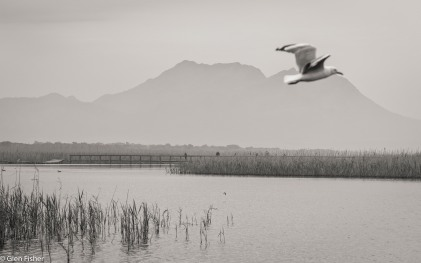 Gulls, Kleinmond # 3